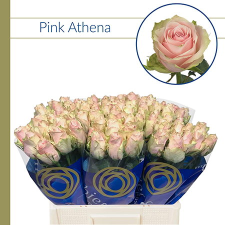Rosa Athena Pink