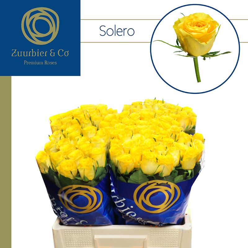 Zuurbier-rose-solero